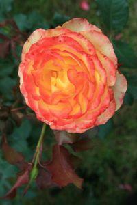 Fête Ecurie du Val Fête de la rose à Veules 233