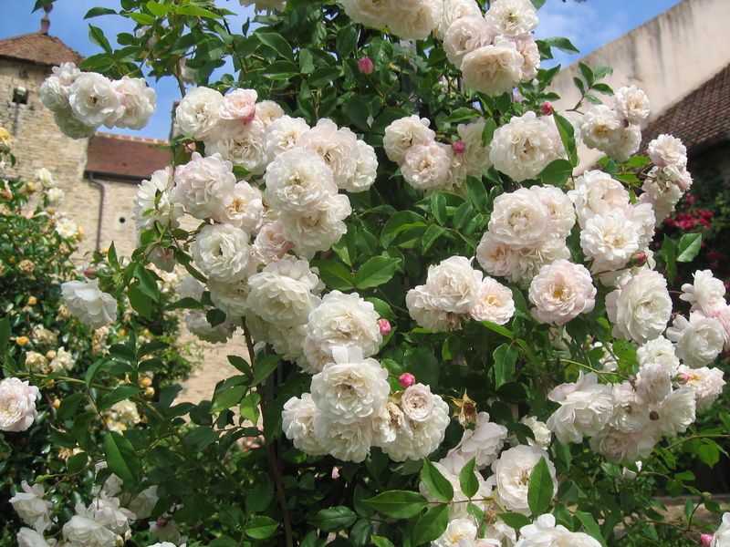 Rose ancienne : 'White Pet Climbing'
