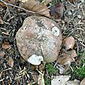 Russula cyanoxantha (1)