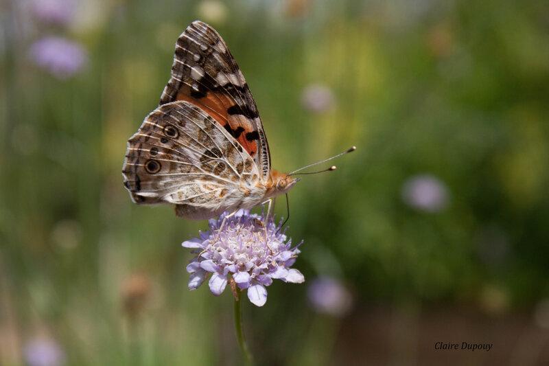 Farfalla1b