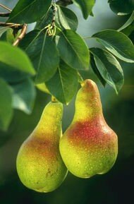 190px_WikiEN_Pears