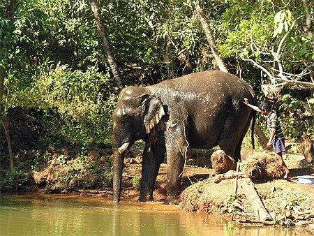 GOA ELEPHANT - PRENANT SON BAIN