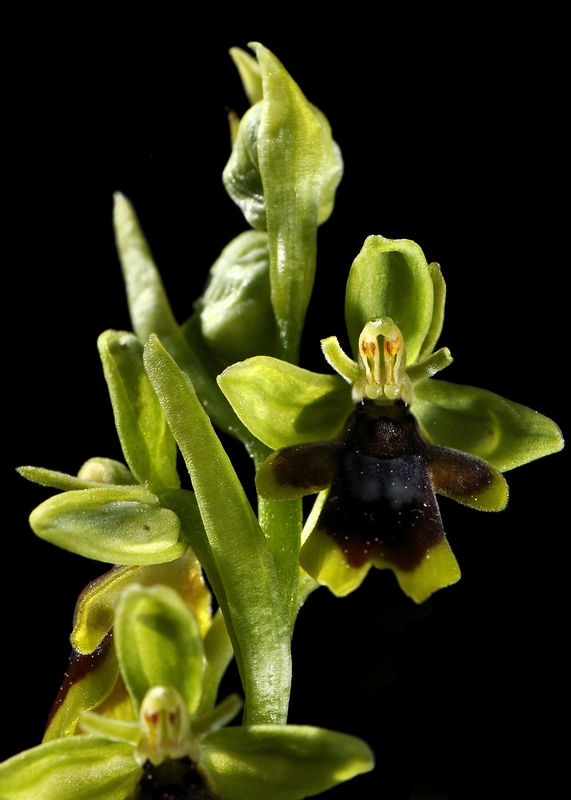 _DSC0482_Ophrys_aymoninii_3