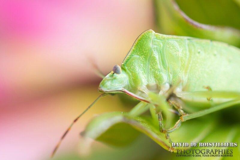 Punaise Verte