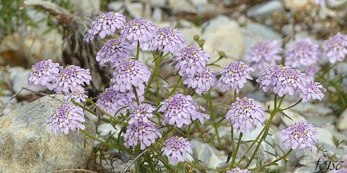 fleurs roses ou lilacées petites en coryimbe serré 8-10 mm