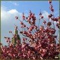 Cerisiers roses .