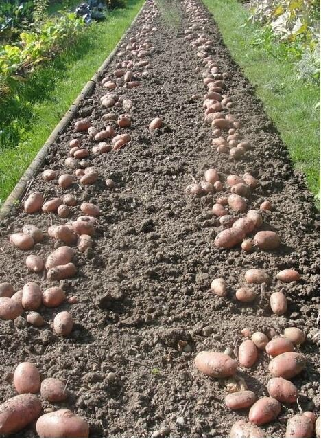 11-pommes de terre