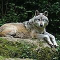 Moins de 2 % de loups hybrides dans les alpes suisses