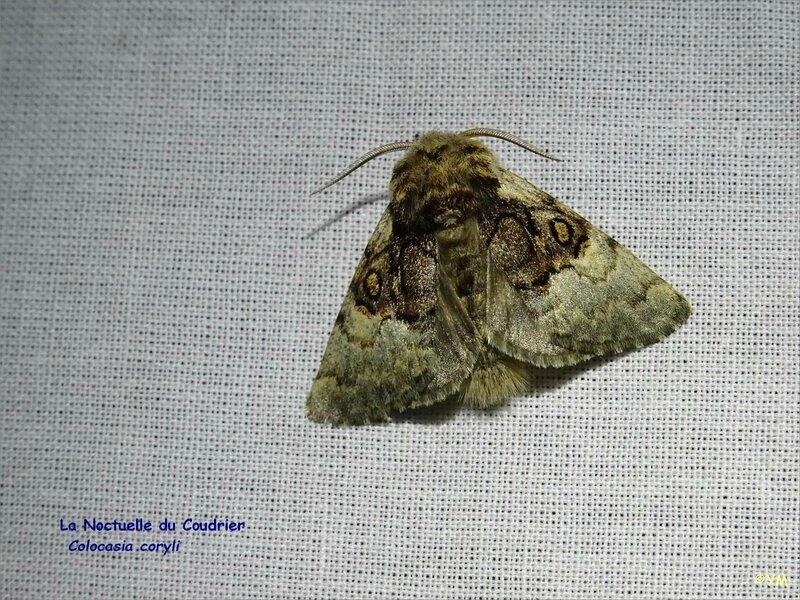 6 RNR sortie papillons de nuit La Noctuelle du Coudrier ym