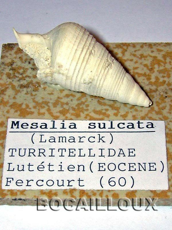 MESALIA SULCATA 1