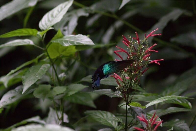 Martinique J8 7D canal Esclaves colibri 111217 10 oiseau Colibri