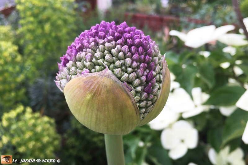 Allium-Ambassador-1