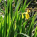 Iris aquatiques 2804168