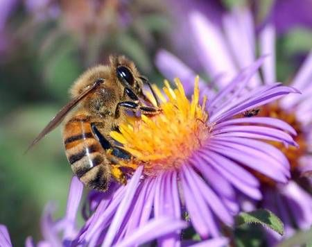 abeille_1