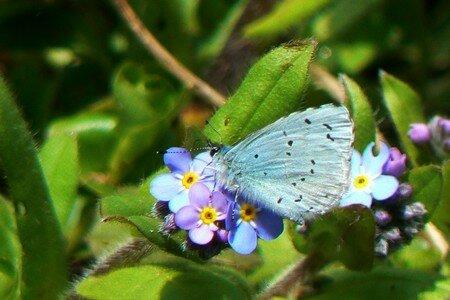 papillon_blue3