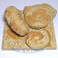 Ammonites f31