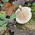 Clitopilus prunulus (4)
