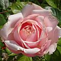 Rosier rose clair