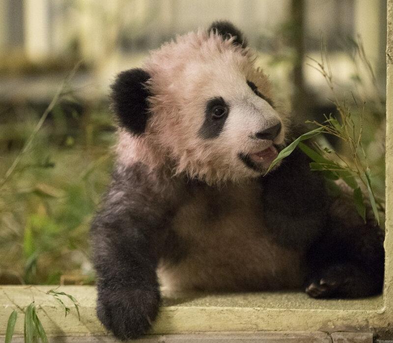 497390-bebe-panda-mini-yuan-zi-295