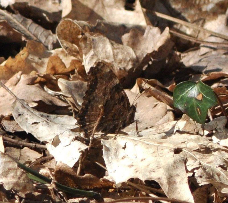 Nymphalis polychloros (Grande tortue, Vanesse de l'Orme)