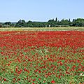♥ champ de coquelicots - edit ♥