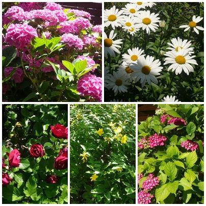 fleurs du jardin fin juin 2018