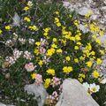 2009 06 29 Fleurs sauvages sur le shauteurs du Grand Veymont sur le point culminant du Vercors (15)