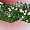 tulipes 2015_03_3