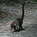 Un tapir de Tikal