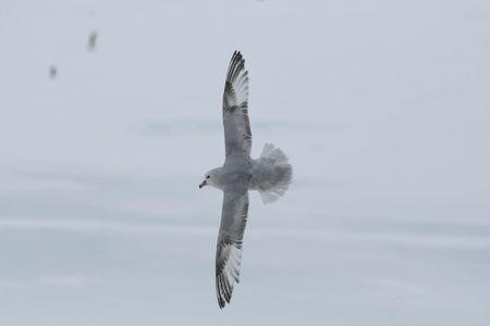 Fulmar antarctique