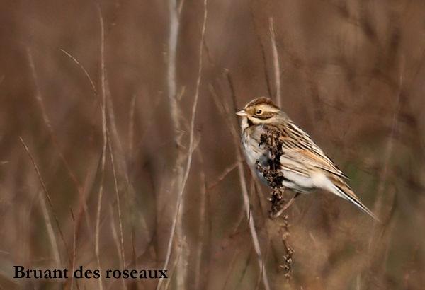 bruant_des_roseaux2