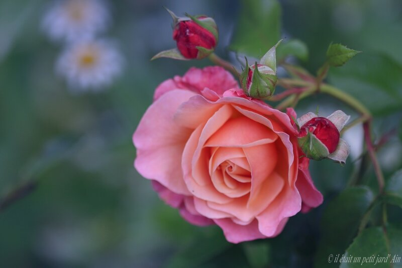 marie curie rosier roses meilland