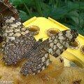Hamadryas februa • Nymphalidae • Costa Rica