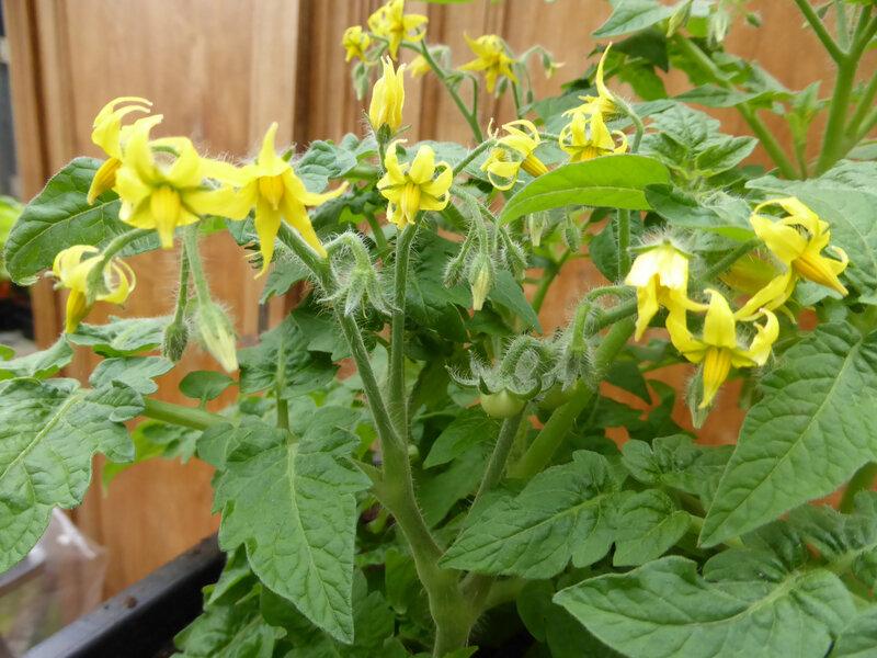 25-tomates naines (7)