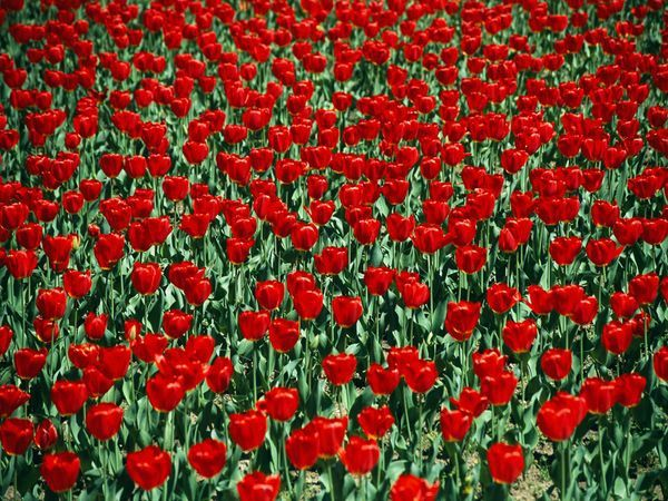 red-tulips_9381_600x450[1]