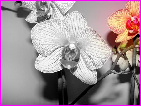 orchidee_d