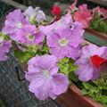 2009 06 14 Fleurs de pétunias retombantes