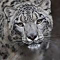 léopard fgh
