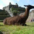 Un habitant du Machu Picchu