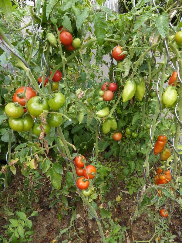 4-tomates (1)