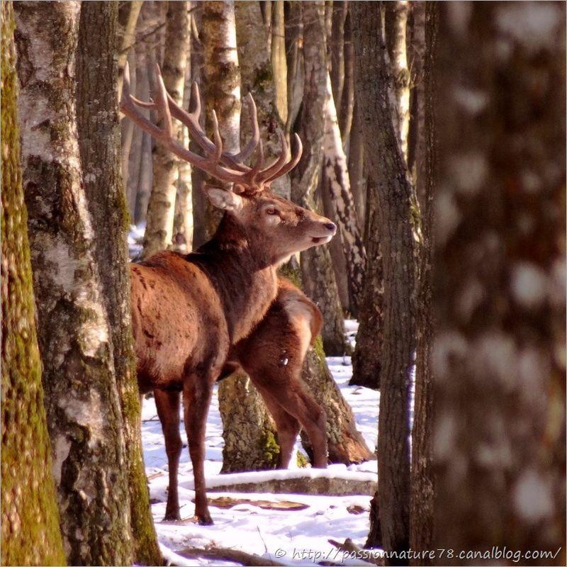 Cerfs dans la neige (9)