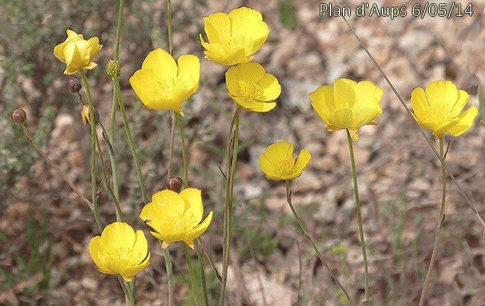 Fleurs solitaires au sommet de longs pédoncules