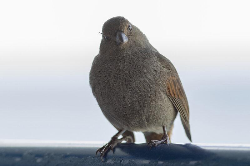 Martinique J1 75 oiseau sporophile GP