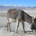 L'âne, le roi du Tibet !