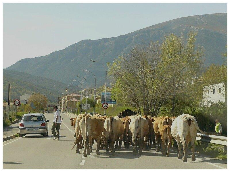 troupeau vaches entree ville Aragon