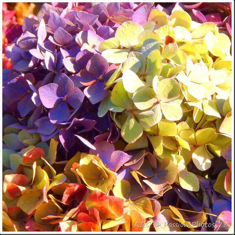 Les hortensias en automne