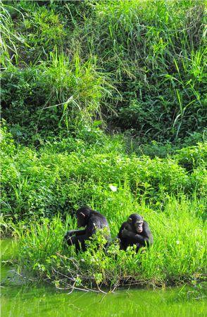 Chimpanz_s__parc_de_Queen_Elizabeth__Ouganda