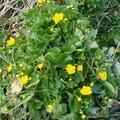 2008 04 19 Des fleur de Populage des marais