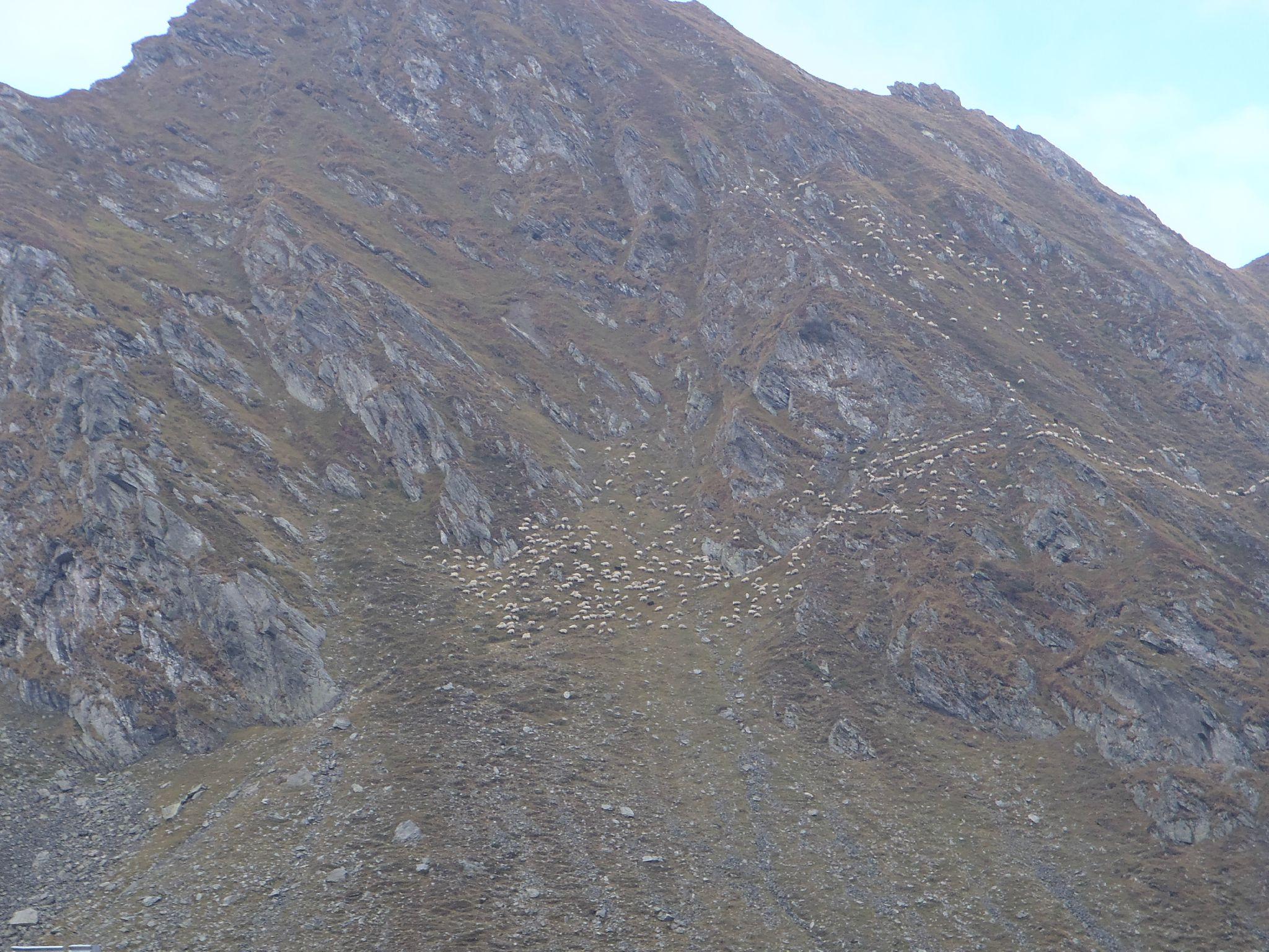 roumanie - transfagarasan troupeaux de moutons-dahuts