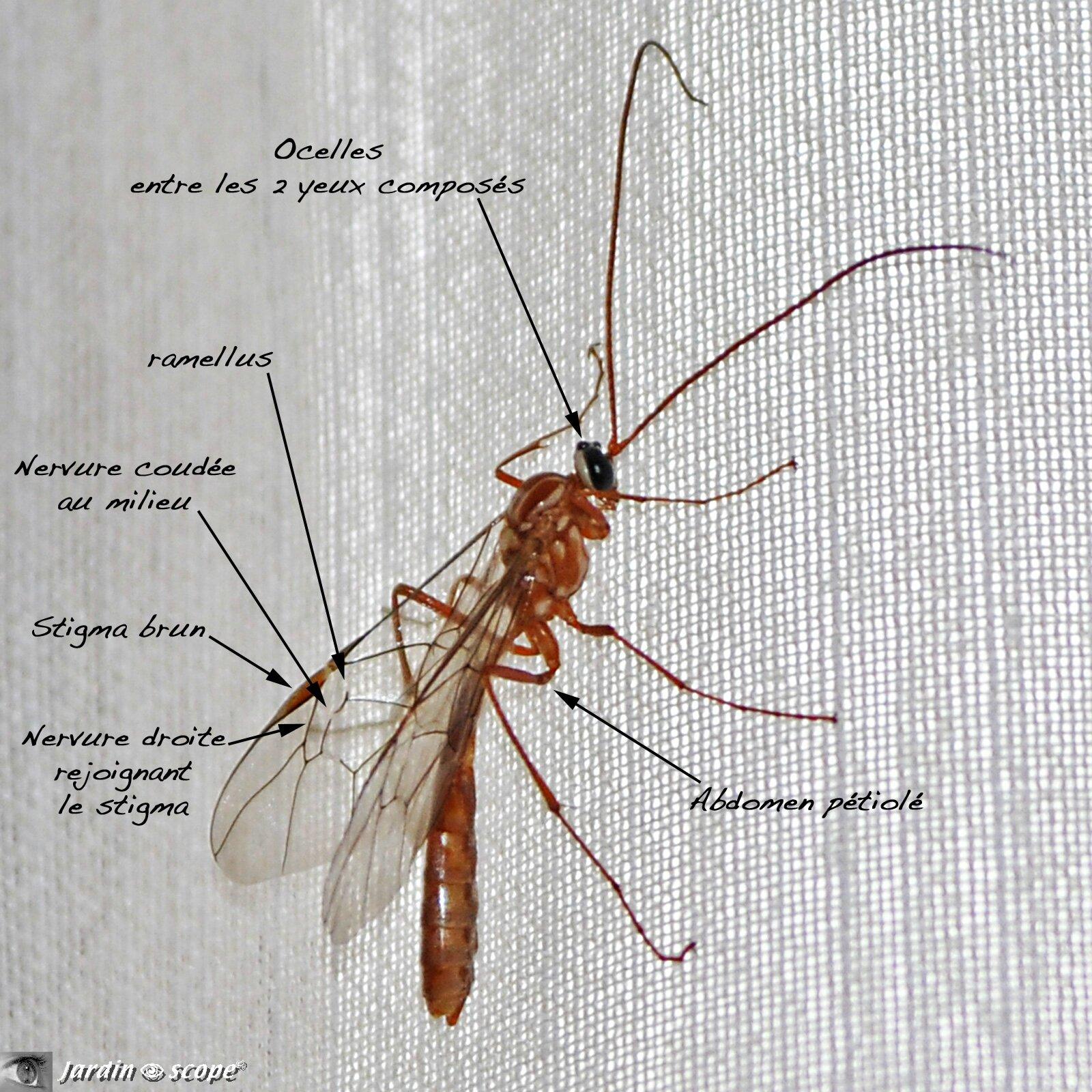 Ophion jaune-brun • Ophion luteus • Famille des Ichneumonidae